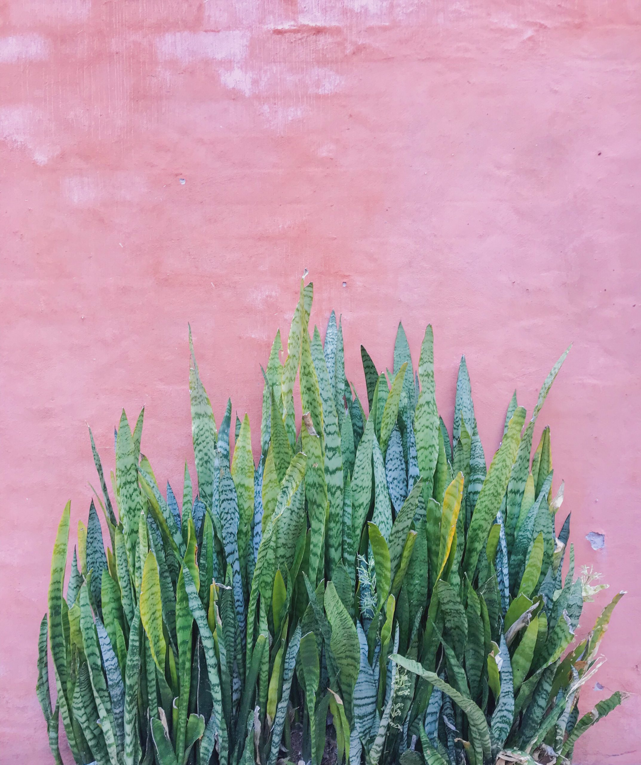 pink-and-green-aloe