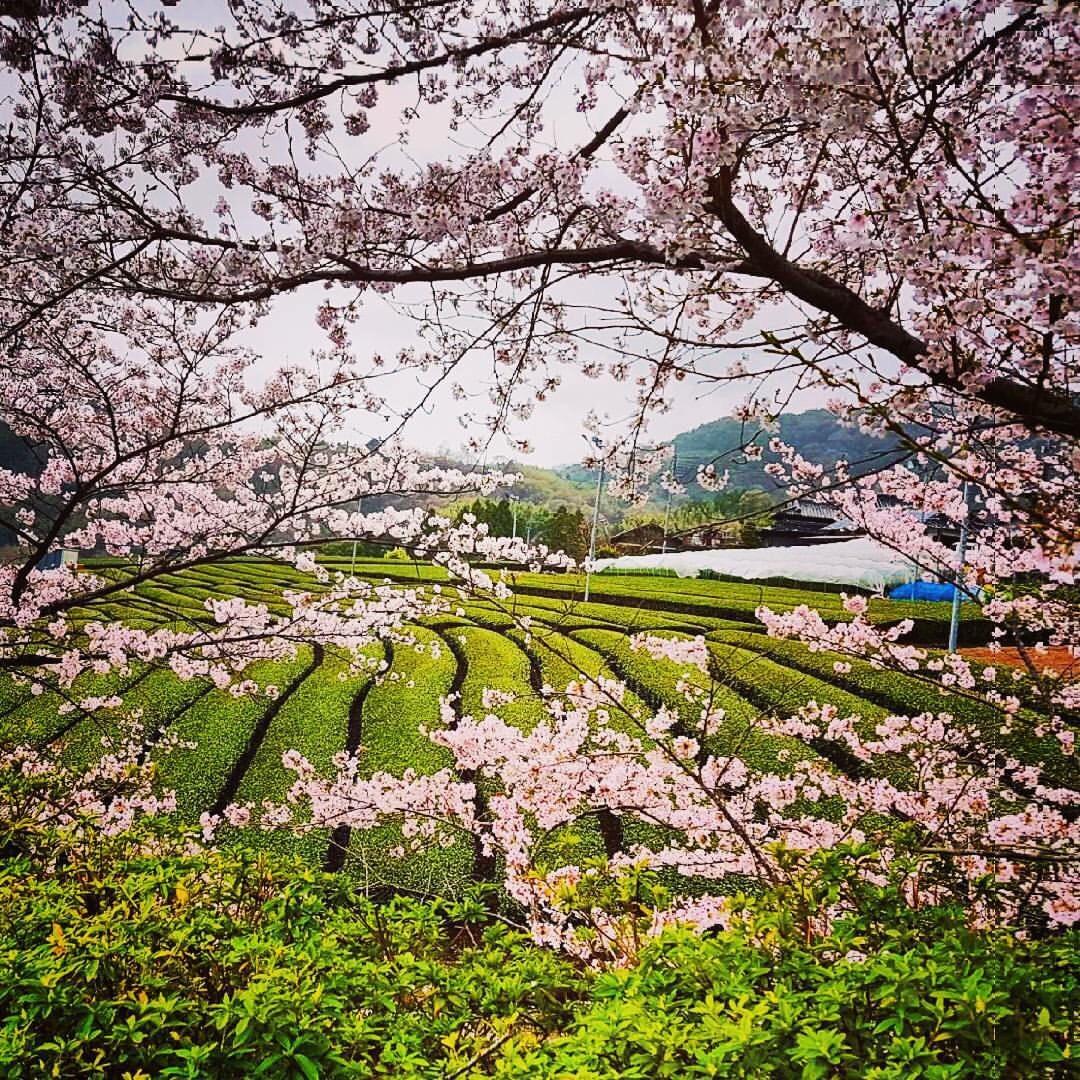 Green-Tea-Field-Cherry